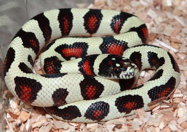King-Corn-Snake