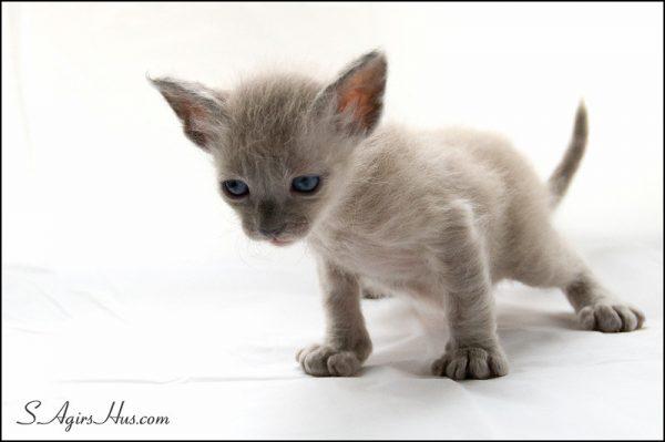 LaPerm-Cat