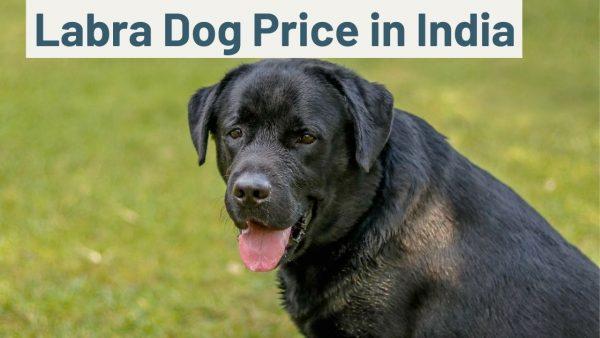 Labra Dog Price in India