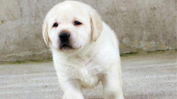 Labra Dog Puppy Test