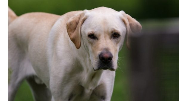 Labrador Retriever Characteristics and Temperament