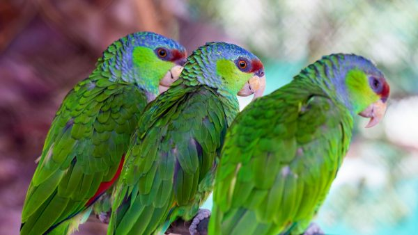 Lilac-Crowned-Amazon