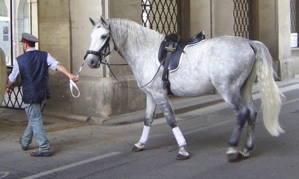 Lipizzaner-Horse