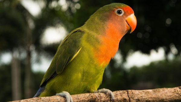 Lovebird-Parrots
