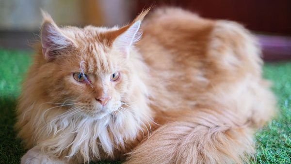 Maine-Coon-1