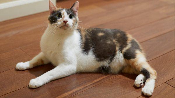 Manx-cat