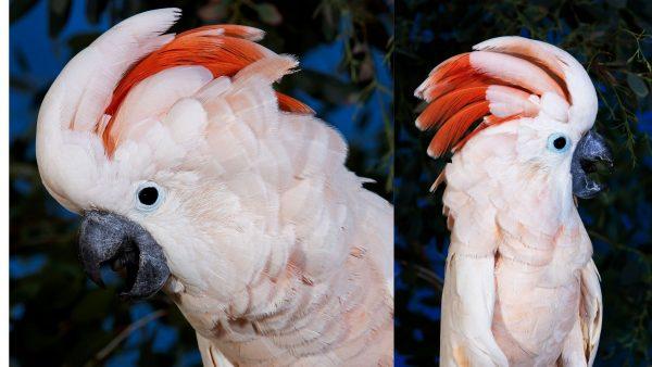 Moluccan-Cockatoos