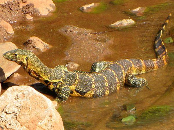 Nile-Monitor-Lizard