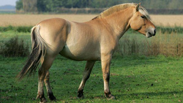 Norwegian-Fjord-Horse