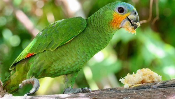 Orange-winged-Amazon