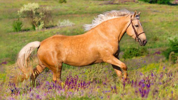 Palomino-horse
