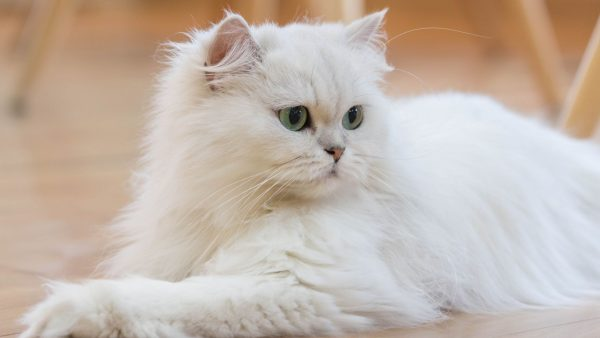 Cat Breeds Persian