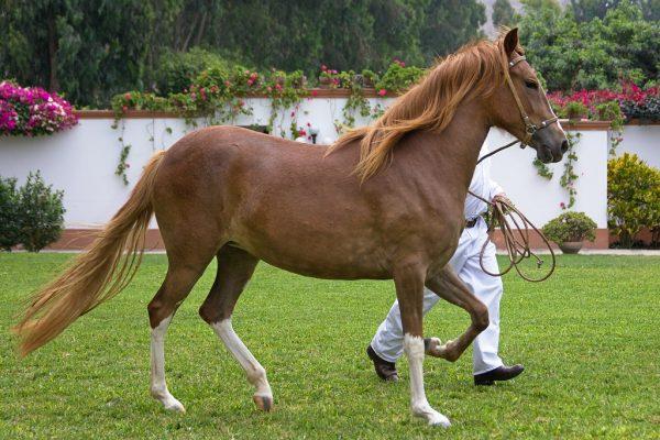 Peruvian-Paso-Horse