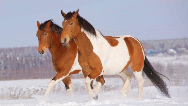 Horse Breeds Pinto-Horse