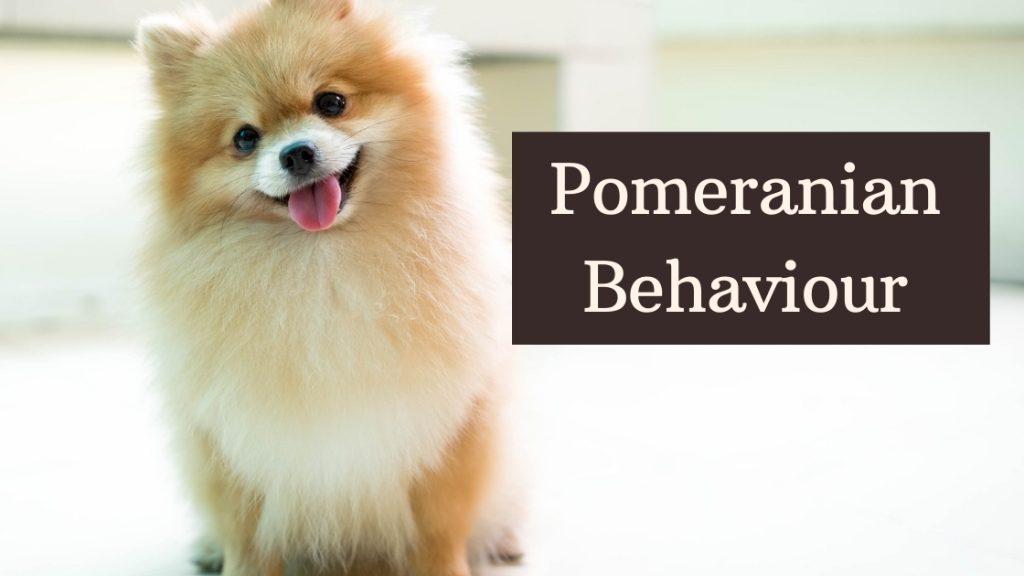 Pomeranian Behaviour