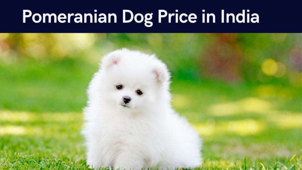 Pomeranian Dog Price in India