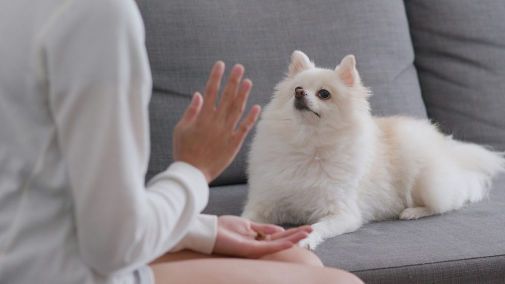 Pomeranian Training