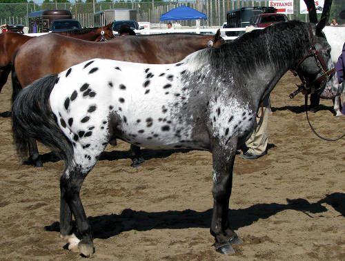 Pony-of-Americas