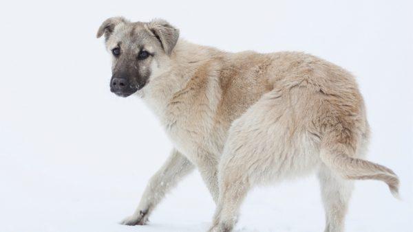 Protective behaviour of Kangal Dog