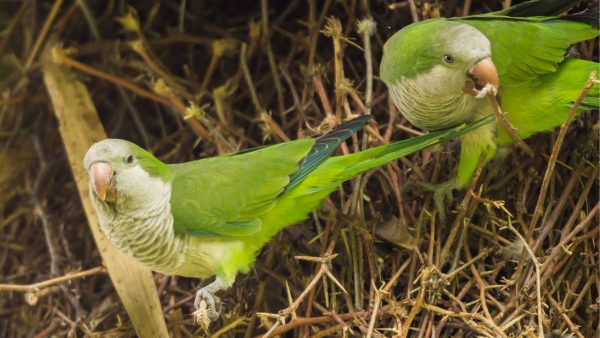 Quaker-Parakeet