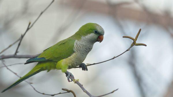 Quaker-Parrot