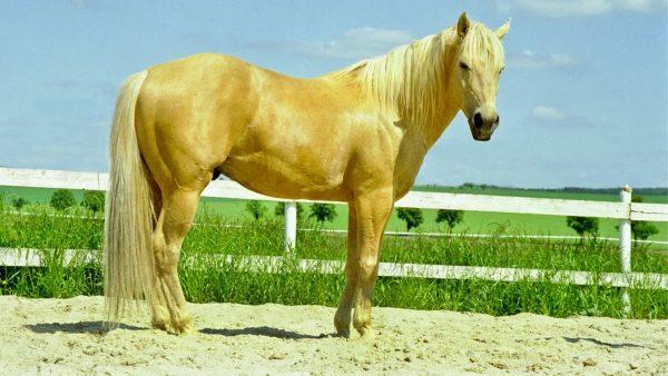 Pony Horses Quarter-Pony
