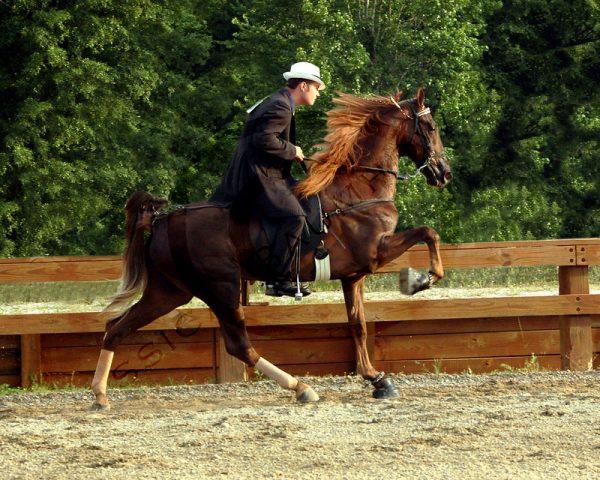 Racking-Horse