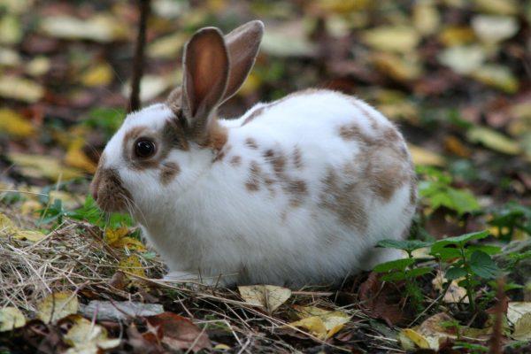 Rhinelander-Rabbit