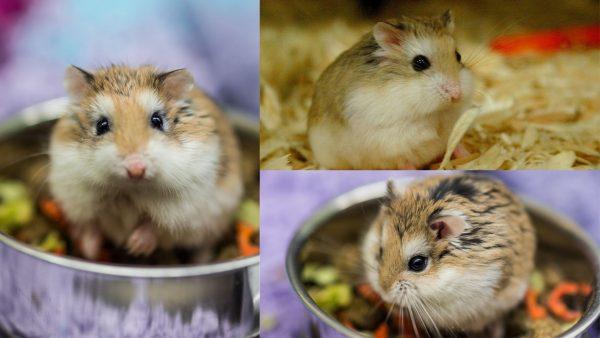 Robo-Hamster