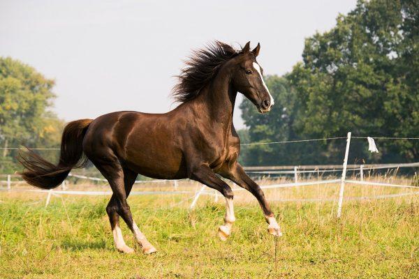Saddlebred-Horse