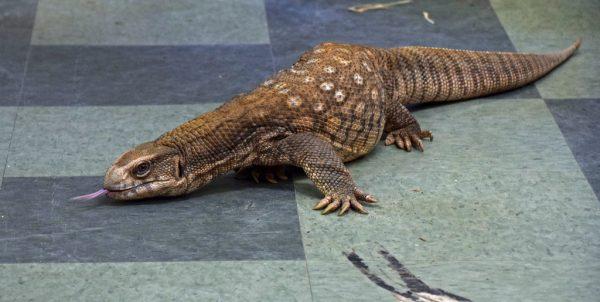 Savannah-Monitor-Lizards