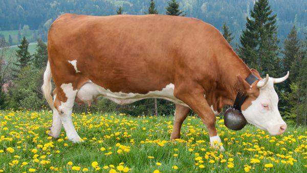 Cattle Breeds Simmental