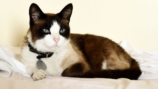 Snowshoe-Cat