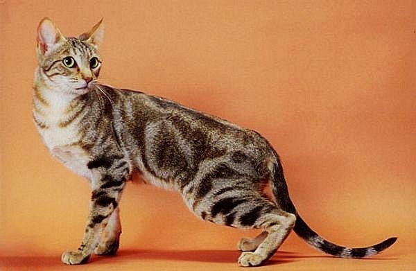 Sokoke-Cat