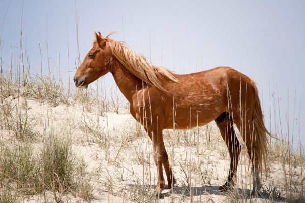 Spanish-Mustang-Horse