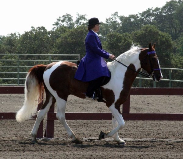 Spotted-Saddle-Horse