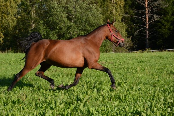 Standardbred-Horse