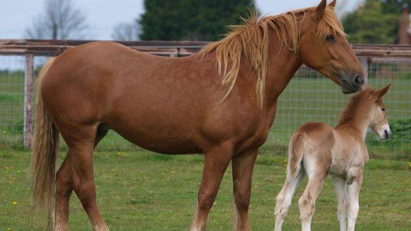 Suffolk Horse