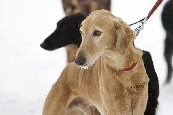 Tazy Dog
