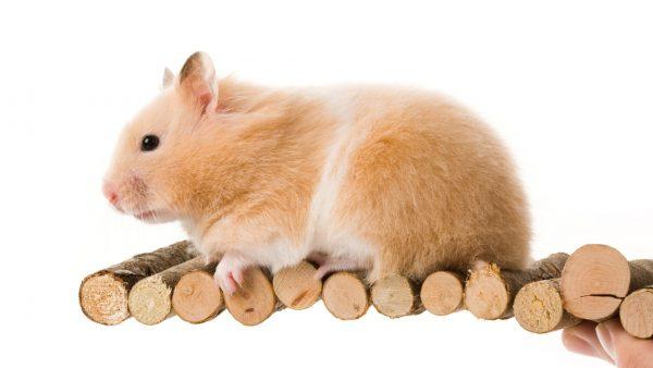 Teddy-Bear-Hamster