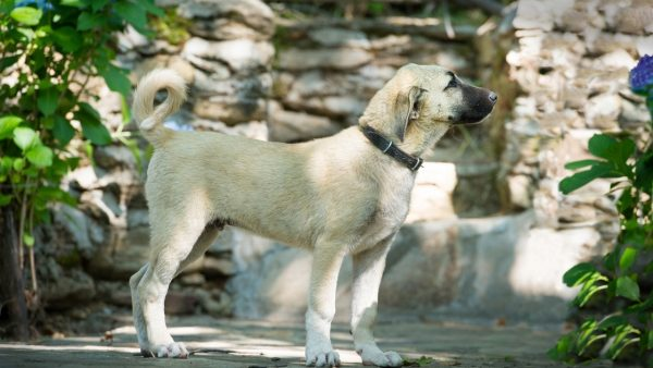 Training And Environment for Kangal Dog