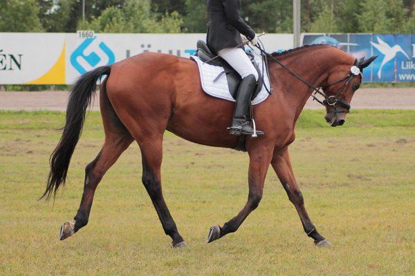 Trakehner-Horse