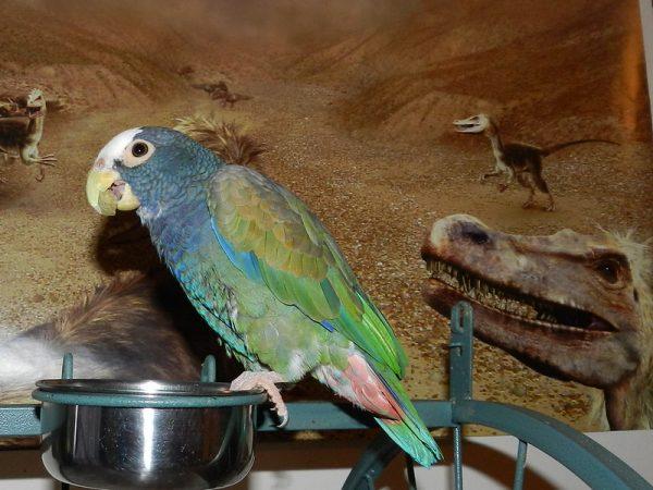 White-Capped-Pionus-Parrot