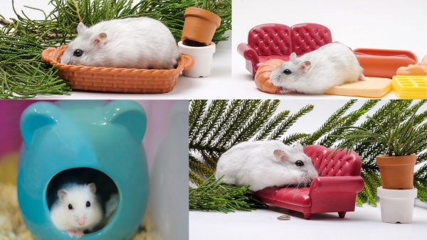 Hamsters Breeds