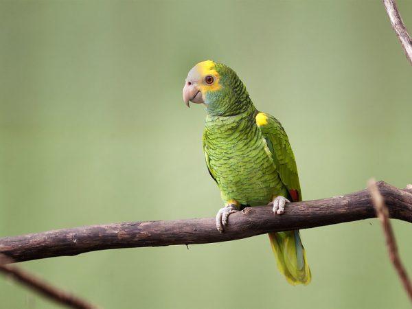 Yellow-Shouldered-Amazon