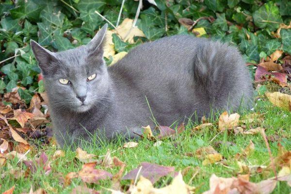 cat-korat-nature-feline