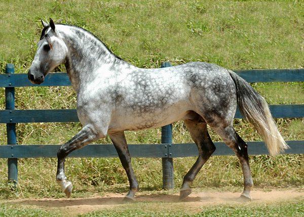 florida-cracker-horse