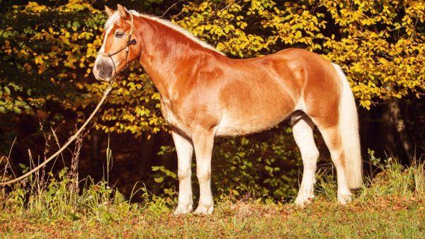 haflinger-horse