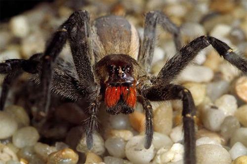 Brazilian-Wondering-Spider