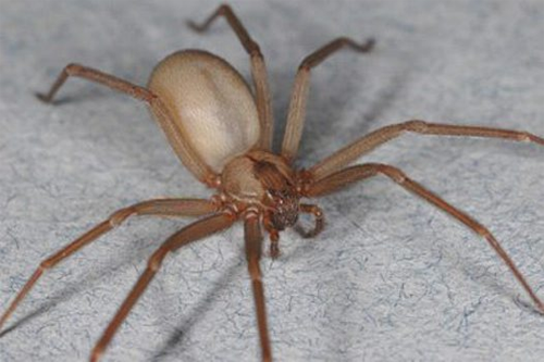 Brown-Recluse-Spiders